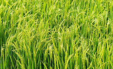 Close up of rice plant growing and produce grains in paddy field