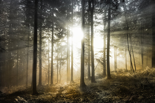 Bright magical sun rays in forest landscape. Lovely golden color filter used.