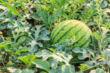 Agricultural watermelon field in the summer