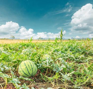 watermelon field in the summer