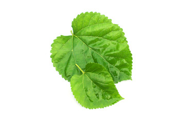 Green mulberry leaf on white background.