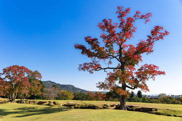 Tree with orange-red leafs in the Japanese park in city of Nara during the sunny day outdoors