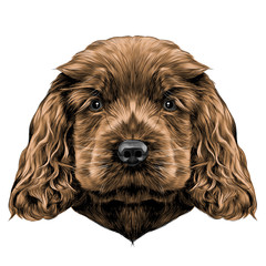 dog breed Cocker Spaniel puppy, sketch vector graphics color picture