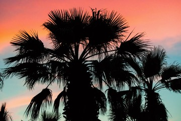 Palm tree black crown on colorful sunset sky.