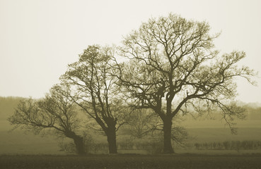 Oak trees (Quercus rober)