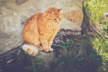 Ginger big red fluffy cat sitting on the rustic village background.