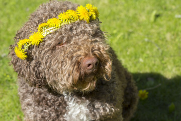 Brown dog with a flower hat in the sunshine. The dog is wearing a dandelion bouquet.