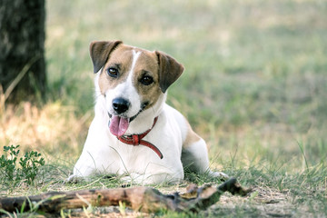 Jack Russell Terrier dog lying with a wooden stick on the grass in a summer park. A dog looking at the camera