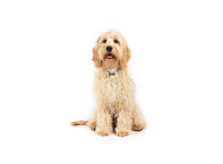 Cockapoo sitting on a white background