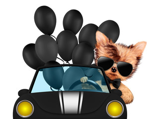 Funny animal sitting in a cabriolet