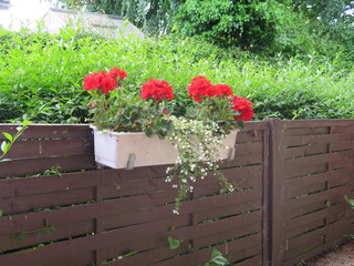 Red geraniums in white flower box
