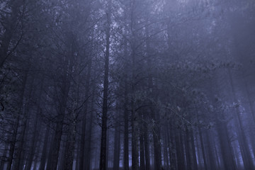 Pine woods at night