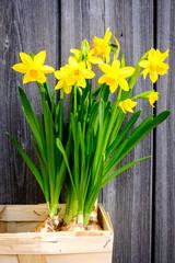 Daffodils - Narcissus