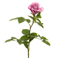 Beautiful flower of rose, isolated on white background