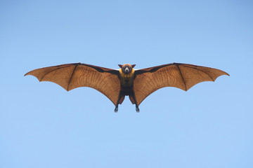 Bat flying on blue sly