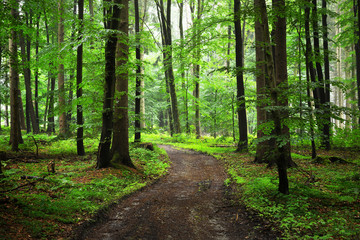 A path through green beech forest with mist, Herford, Germany