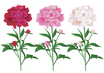 Vector illustration with beautiful peony flowers