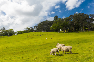 Keuken foto achterwand Nieuw Zeeland Sheep in the New Zealand