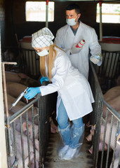 Two adult veterinarians in white coats in pigsty