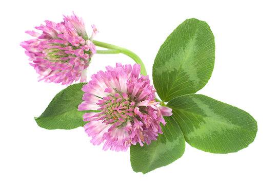 Alfaalfa herb on white