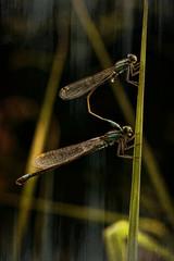 Dragonflies, pair