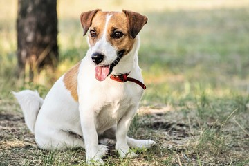 Jack Russell Terrier dog sitting on grass in summer day