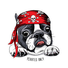French Bulldog portrait in a pirate bandana. Vector illustration.