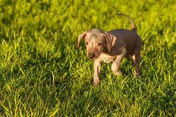 A puppy of a Chinese crested dog runs on the grass