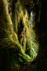 Quinault Rainforest in Olympic National Park