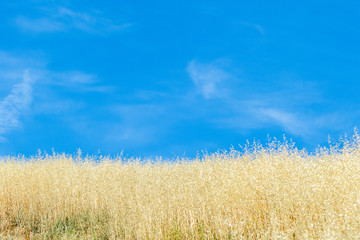 Golden grass and blue sky