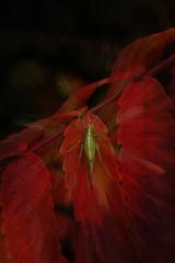 Grashopper resting on red leaves