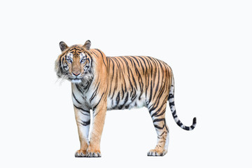 Poster Tijger bengal tiger isolated