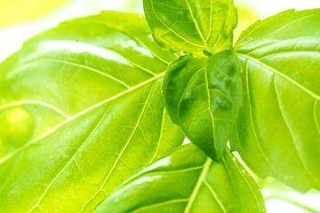 Fresh Basil Herb Leaves Closeup