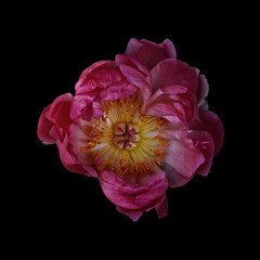 Peony against plain background