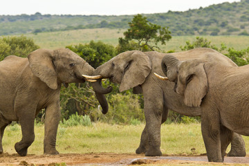 Three African elephants at a water hole