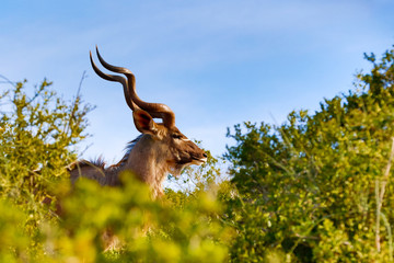 Kudu standing between all the bushes