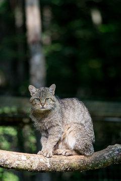 Un chat forestier assis sur une branche. Felis sylvestris.