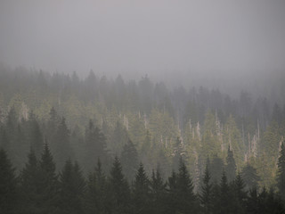 Forest in fog