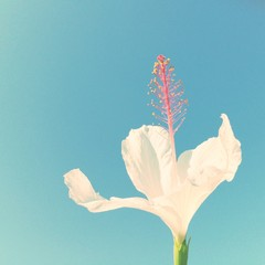 Close-Up Of White Hibiscus Flower Against Clear Blue Sky