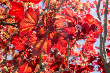 Close-up of a summer Maple Leaf with natural red leaves. Quebec, Canada.
