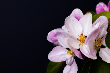 Pretty apple blossom flowers isolated against black background with copy space