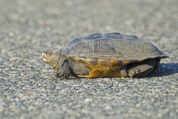 Diamondback Terrapin on Road
