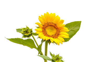 Sunflower and green leaf