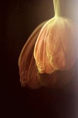 Tulip petals, double exposure