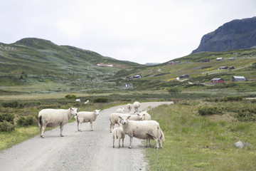 White sheep standing on the road in Norway