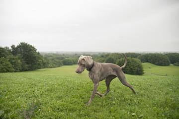 Weimaraner dog running on grass hill