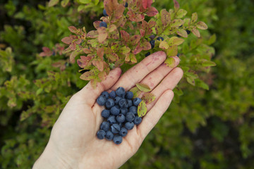 Blueberries in a handpalm