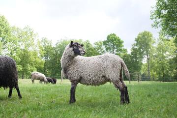 Curly sheep posing