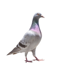 full body of homing speed racing pigeon isolated white background