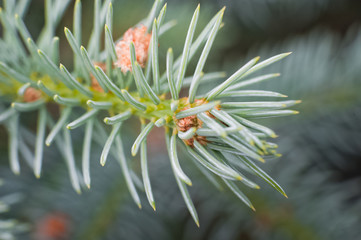 Sprig of spruce macro. Green and blue spruce. Fluffy and barbed tree branches